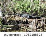 american alligator at... | Shutterstock . vector #1052188925