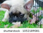 close up baby french bulldog... | Shutterstock . vector #1052189081