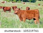 Red Angus Bull Calf  Grazing...