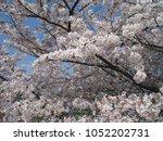 cherry blossom at osaka castle... | Shutterstock . vector #1052202731