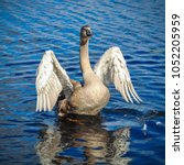 White Swan Is Flapping Its...
