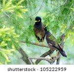 Two Common Tetris Birds Of Asi...
