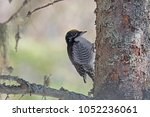 Small photo of A male american three-toed woodpecker looking for food on a balsam fir tree.