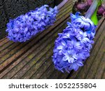 flowering close up blue...   Shutterstock . vector #1052255804