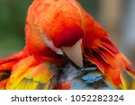 scarlet macaw cleaning its... | Shutterstock . vector #1052282324