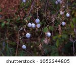 Small photo of Fruits of Zehneria japonica