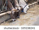 Row Of Feeding Dairy Cows In A...