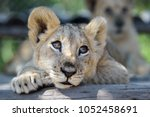Stock photo sleepy cute lion cub lying down on tree with other lion cubs wildlife of africa baby animals 1052458691