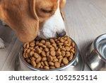 beagle dog eating tasty food... | Shutterstock . vector #1052525114