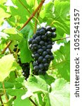 bunches of black grapes in... | Shutterstock . vector #1052541557