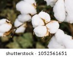 field of cotton in the... | Shutterstock . vector #1052561651