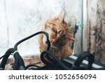 Stock photo ginger cat tries to bite the wires on mining computer open stand 1052656094