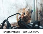 Stock photo ginger cat tries to bite the wires on mining computer open stand 1052656097