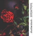 dry flowers rose | Shutterstock . vector #1052679191