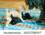 Stock photo two black and beige puppies playing on the litter 1052708597