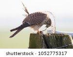 common kestrel  falco... | Shutterstock . vector #1052775317