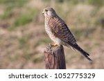 common kestrel  falco...   Shutterstock . vector #1052775329