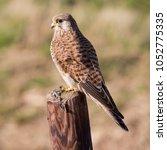 common kestrel  falco...   Shutterstock . vector #1052775335