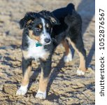 miniature australian shepherd ... | Shutterstock . vector #1052876567