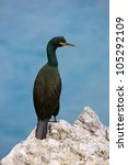 Cormorant Sitting On The Rock...