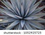agave plant desert flora...   Shutterstock . vector #1052925725