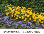 Small photo of MARIGOLDS AND AGERATUM FLOWERS. ' AGERATUM BLUE DANUBE'