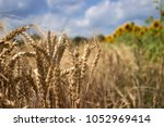 Ripe Wheat Field Against A Blue ...
