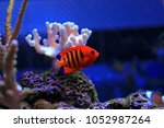 flame angelfish  centropyge... | Shutterstock . vector #1052987264
