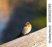 dainty little welcome swallow... | Shutterstock . vector #1053033785