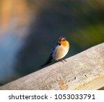 dainty little welcome swallow... | Shutterstock . vector #1053033791