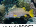 Small photo of Schoolmaster (Lutjanus apodus) swimming over a coral reef - Bonaire, Netherlands Antilles