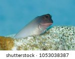 redlip blenny  ophioblennius...   Shutterstock . vector #1053038387
