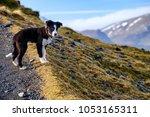 Border Collie Sheepdog Puppy On ...