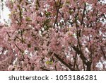 pink cherry blossoms in full... | Shutterstock . vector #1053186281