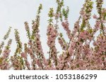 pink cherry blossoms in full... | Shutterstock . vector #1053186299