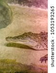Small photo of Young Nile Crocodile
