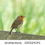 european robin perched on back...   Shutterstock . vector #105324191