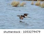 long tailed duck  clangula... | Shutterstock . vector #1053279479