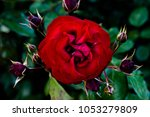 Stock photo rose from the rose park in san jose california usa 1053279809