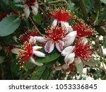 Blooming Feijoa  Feijoa...