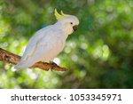 cacatua galerita   sulphur... | Shutterstock . vector #1053345971