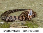 Small photo of Cottonmouth Snake (Agkistrodon piscivorus)