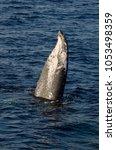 maui whales in ocean | Shutterstock . vector #1053498359