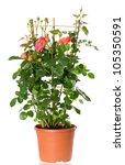 Beautiful Roses Bush In Pot...