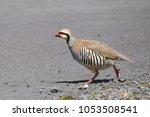 Small photo of Chukar Partridge (alectoris)