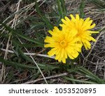 Small photo of False Dandelion (Agoseris glauca) native wildflower in the Beartooth Mountains of Montana