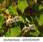 delicate dainty fragrant white... | Shutterstock . vector #1053524039