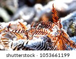 Fern In Winter