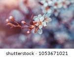 cherry tree blossom  twig with... | Shutterstock . vector #1053671021