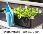 Growing Radish And Salad In...